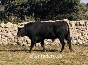 Curioso toro VI