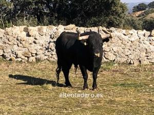 curioso toro II